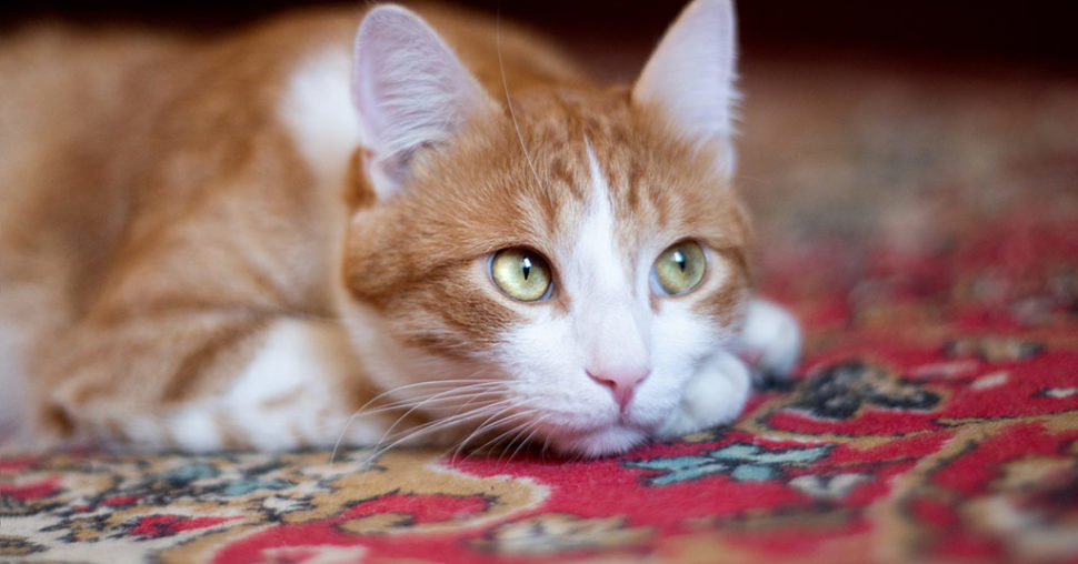 Cat on carpet