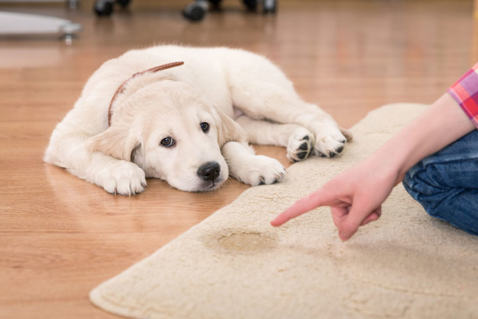Getting Pet Urine Out of Rugs